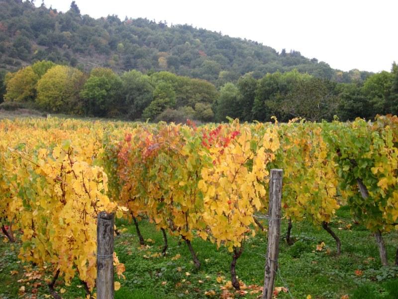 Renske Cramers foto van een wijngaard in herfsttooi in de Lot (Frankrijk)