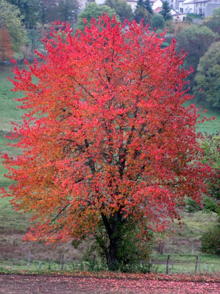 Renske Cramers foto van een boom in rode herfsttooi (Frankrijk)