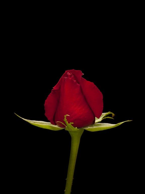 Een foto van een roos bij een tekstje over de poezie van Renske Cramer