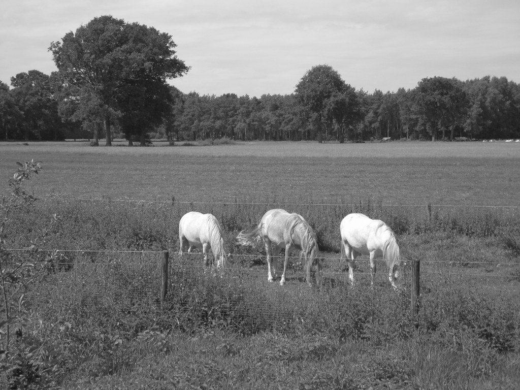 Renske Cramer Creatief zwart-wit foto's foto van paarden in een wei