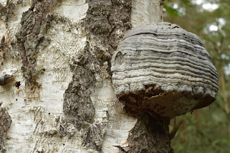 Renske Cramer Creatief grote, ribbelige zwam aan een boom